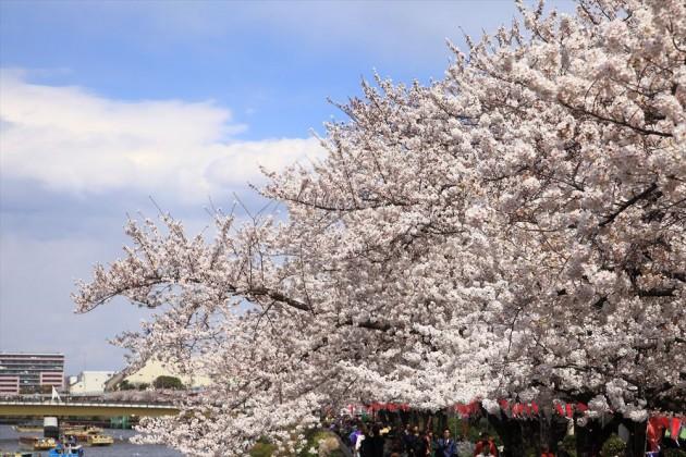 隅田川公園の桜