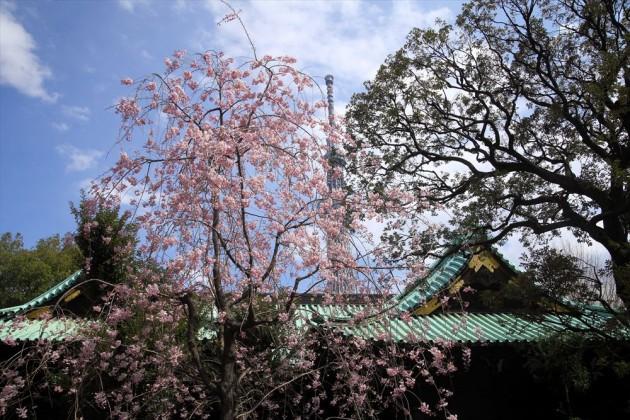 牛嶋神社の桜